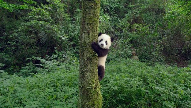 """Movie poster image for """"PANDAS in IMAX"""""""