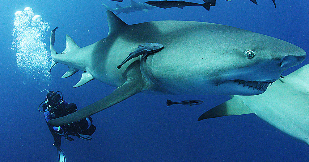 """Movie poster image for """"SHARKWATER EXTINCTION"""""""